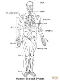 anatomy of a bone coloring human anatomy labelled
