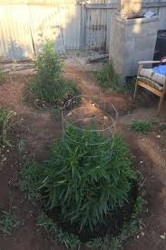 smoking weed in backyard 211 best marijuana plants images on pinterest marijuana plants