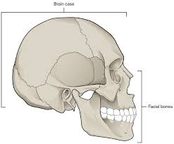 Outline The Anatomy And Physiology Of The Human Body The Skull Anatomy And Physiology