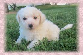 bichon frise 20 pounds welcome to