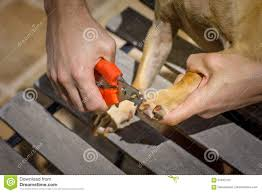 cutting dog nails with clipper stock photo image 91842103