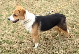belgian sheepdog houston tx houston tx collie meet rolo a dog for adoption