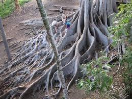 fig tree picture of balboa park san diego tripadvisor