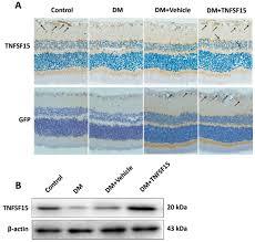 ijms free full text tnfsf15 inhibits blood retinal barrier