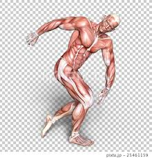 Full Body Muscle Anatomy Anatomy Human Body Full Body Stock Illustration 25461159 Pixta