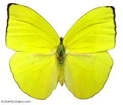 best 25 yellow butterfly ideas on monarch