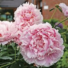 peonies for sale bernhardt peony for sale at park seed pink paeonia