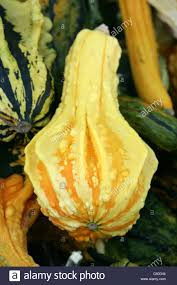 gourds ornamental stock photos gourds ornamental stock images