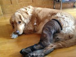 Pantyhose Meme - chinese dogs are wearing pantyhose for some reason 24 pics