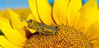 salina ks sunflower field by kansas state university rural kansas photography contest