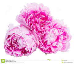 The Pink Peonies by Pink Peonies Border Stock Photo Image 54754898