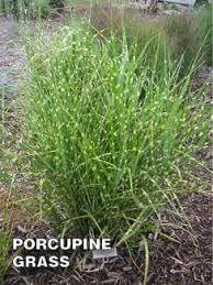 best ornamental grasses for kansas city
