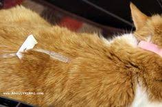 chronic renal kidney failure in cats is a common problem as pets
