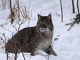 Michigan wild animals images 44 best michigan wildlife images wildlife michigan jpg