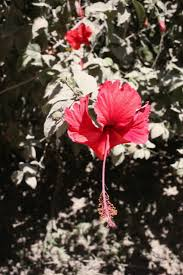 native plants of costa rica bouquet of the week foraging for hibiscus in costa rica gardenista