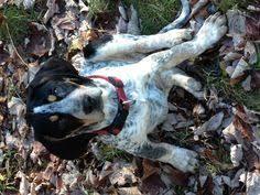 bluetick coonhound westminster bluetick coonhound blue tick hound hunting pinterest