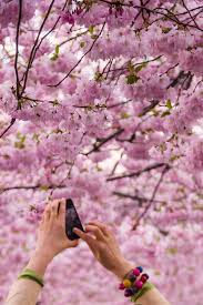 15 amazing places to see cherry blossoms in the