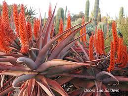 13 succulents that are native succulent plants archives succulents and succulent garden design