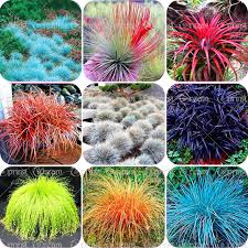 100pcs bag blue fescue grass seeds festuca glauca perennial