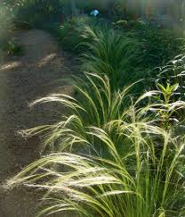 garden mexican feather grass lowes grass names of grass