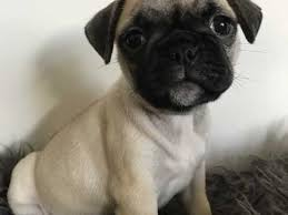 pug x australian shepherd dogs and puppies for sale in penzance pets4homes
