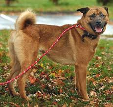boxer dog breeders near me boxer chow boxer chow chow mix info puppies and pictures
