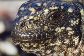 Seeking Lizard Episode How Planet Earth Ii S Amazing Iguana Vs Snakes Was Filmed