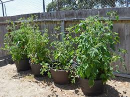 growing vegetables in pots for beginners grow a container garden