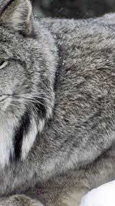 canada canadian animals lynx nature wallpaper 94362