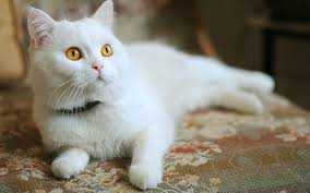 white cats and kittens wallpapers 9 images