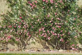 fragrant climbing roses stock photos u0026 pictures royalty free