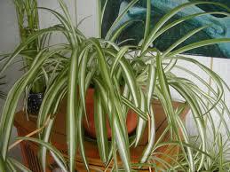 garden design garden design with why doesnut my spider plant have