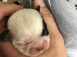 pug x australian shepherd mixed breed dogs and puppies for sale in newcastle upon tyne