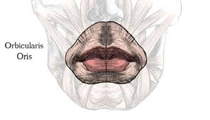 Orbicular Oris How To Draw Lips U2013 Anatomy And Structure Proko