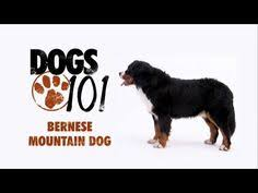 afghan hound dogs 101 dogs 101 bullmastiff eng dogs working group pinterest