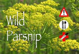 plants native to north carolina wild parsnip edible medicinal u0026 cautions plight to freedom