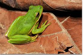 kentucky department of fish wildlife green treefrog