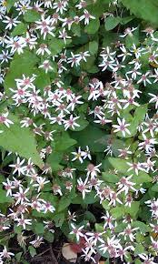 octoraro native plant nursery arasapha native plant garden eurybia divaricata white wood aster
