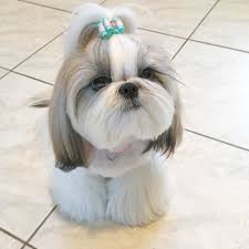 shih tzu haircuts shih tzu haircuts hairstyles for girls
