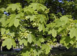 planting native trees invasive plants 10 types that you didn u0027t know about bob vila