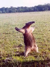 Anteater Meme - fight me anteater meme generator imgflip
