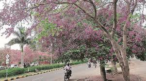 pink flower tree tree talk pink purple pearls the indian express