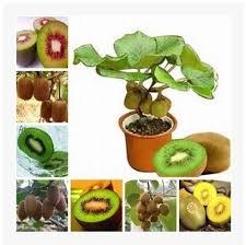 popular fruit tree wholesalers buy cheap fruit tree wholesalers