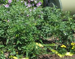 determinate vs indeterminate tomatoes the green thumb 2 0