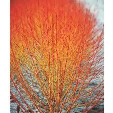 Flowering Shrubs For Partial Sun - 25 trending dogwood shrub ideas on pinterest dogwood bush red