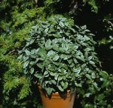 basil seeds 50 basil patio key lime herb seeds ornamental basil ebay