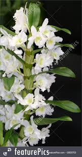 picture of white dendrobium orchids