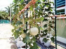 cara membuat cairan hidroponik 10 tahap mudah dan panduan lengkap budidaya melon hidroponik fertigasi