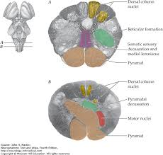 Pyramids Of The Medulla Structural And Functional Organization Of The Central Nervous