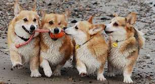 pembroke welsh corgi dog breed information american kennel club
